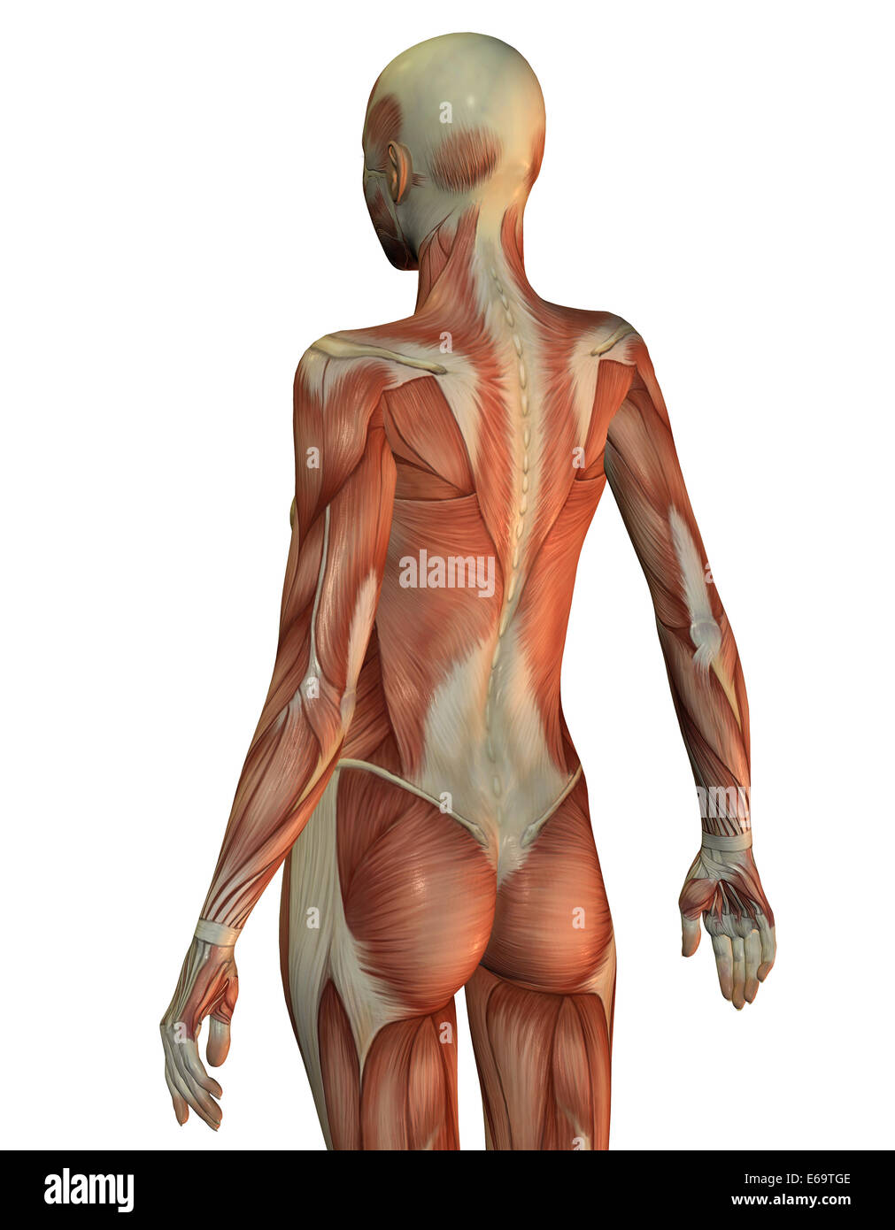 anatomy,muscle,medical illustrations - Stock Image