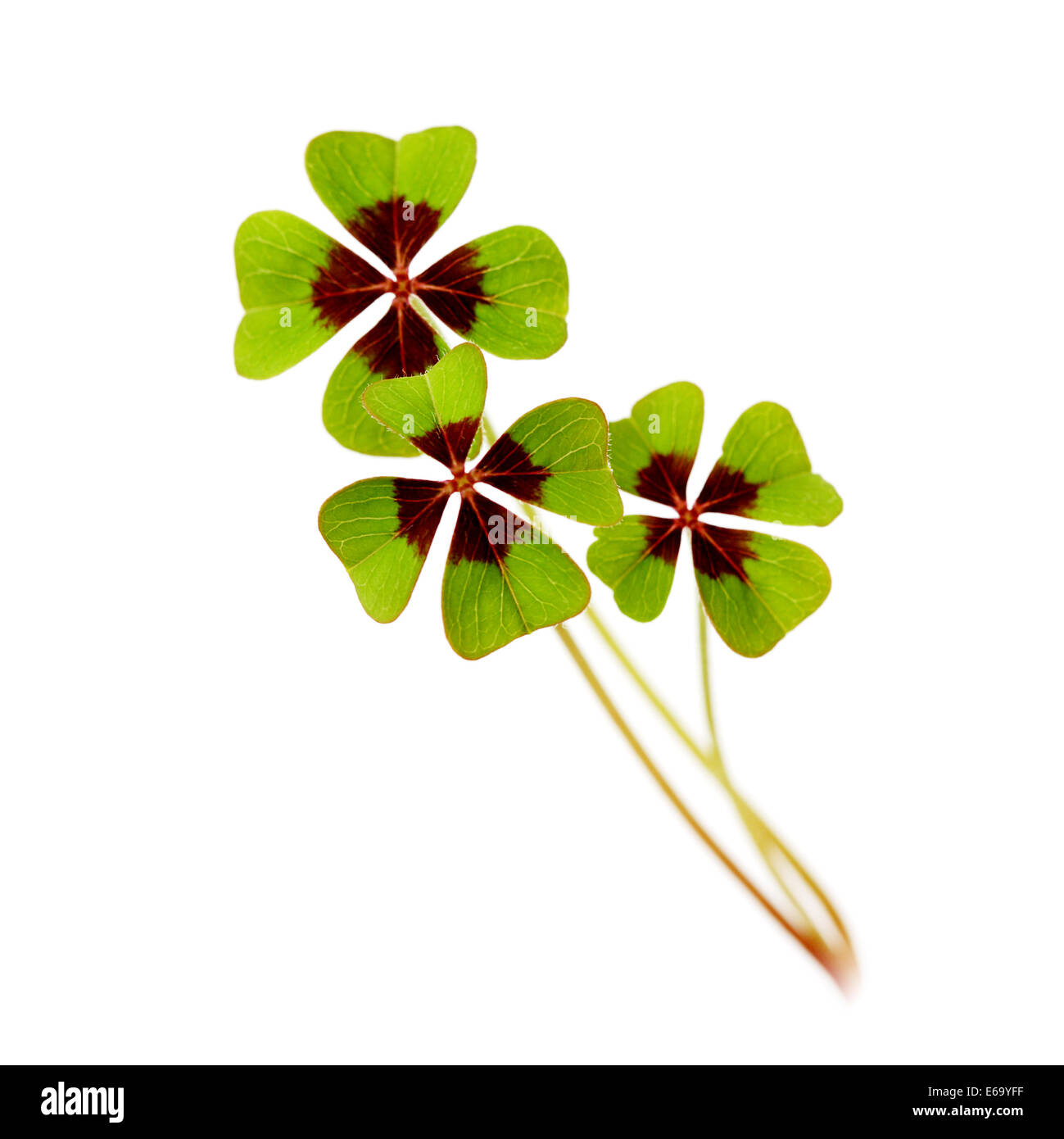 luck,four leafed clover - Stock Image