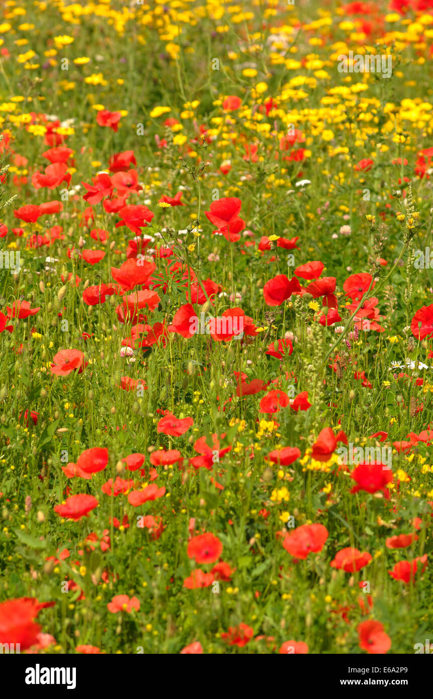 Meadow flowers, Poppies, Daisies & Buttercups - Stock Image