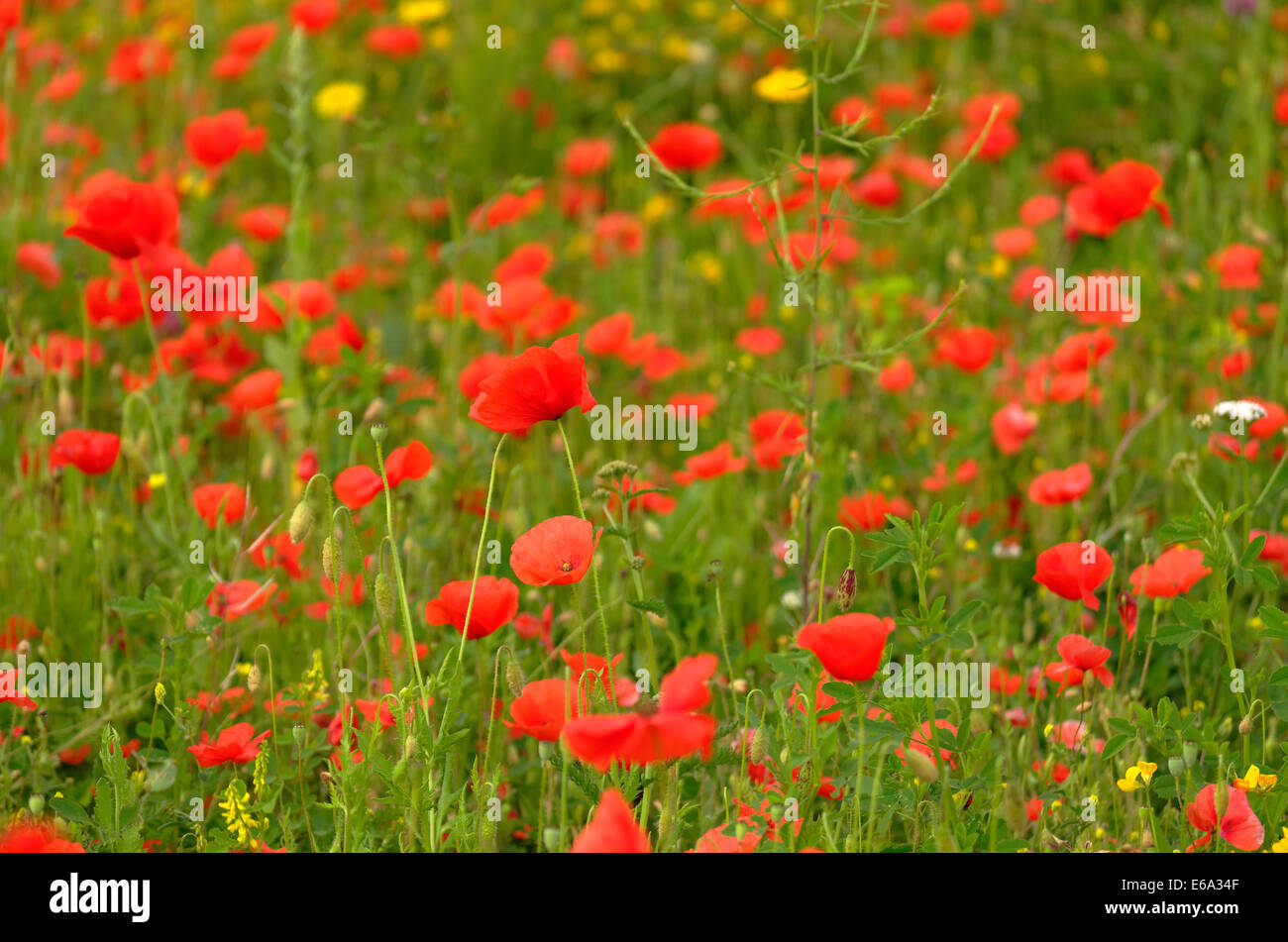 Meadow flowers, Poppies & Buttercups - Stock Image