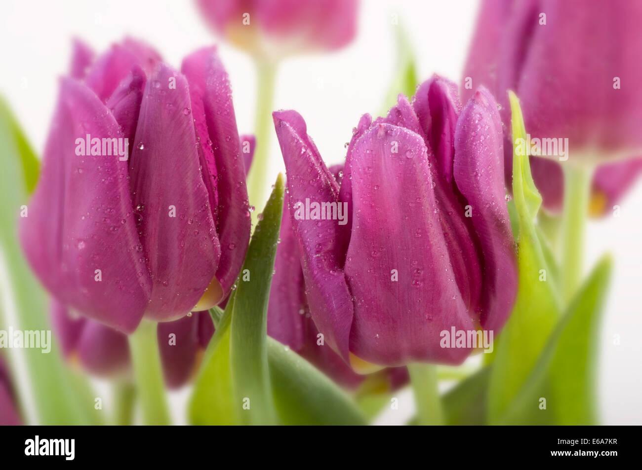 purple,tulip - Stock Image