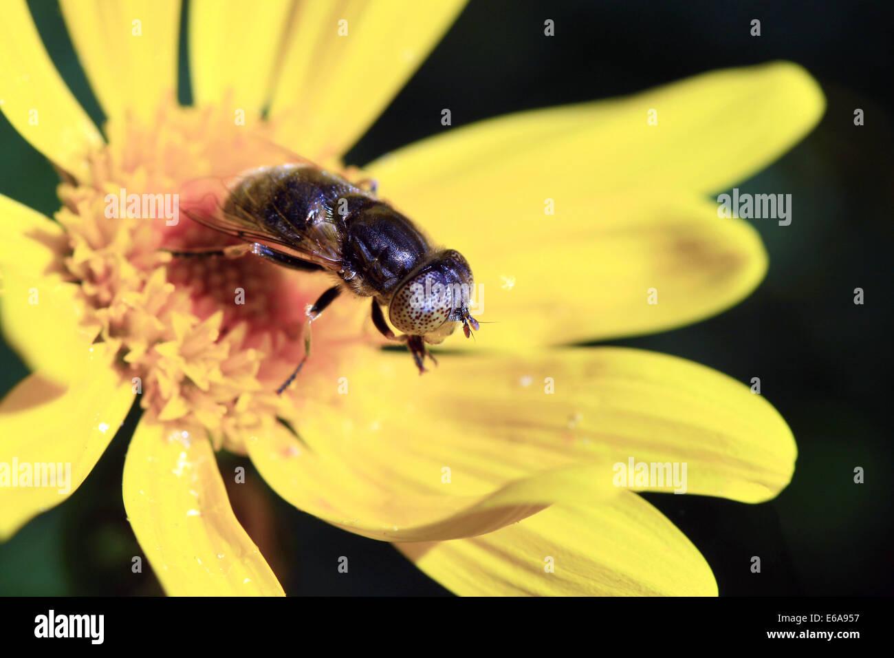 wild bee - Stock Image