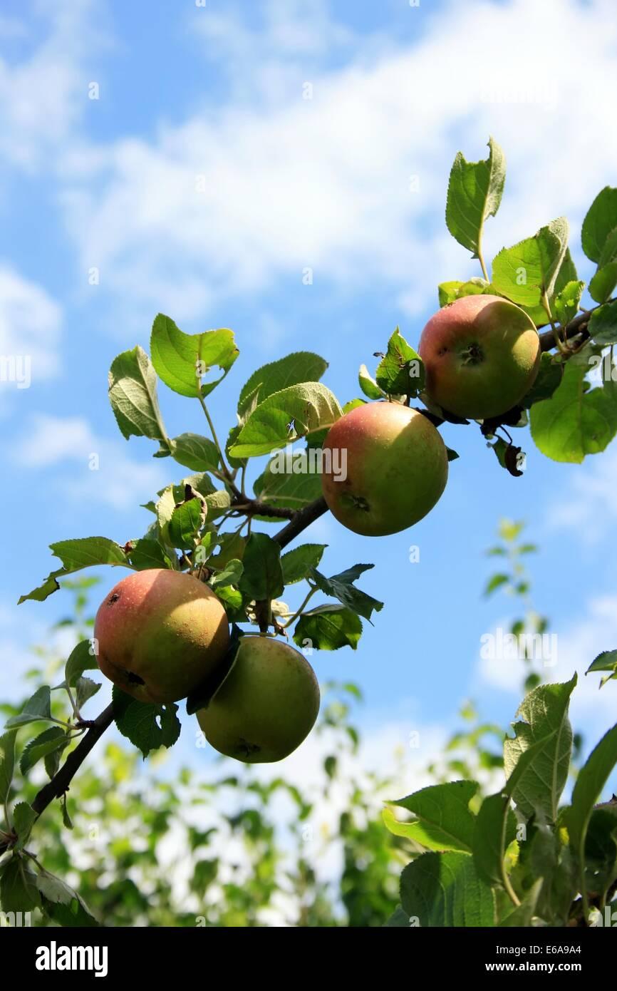 apple tree,fruit tree - Stock Image