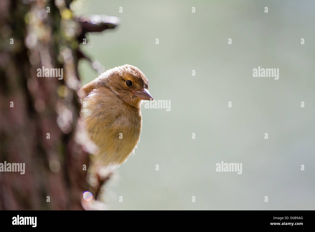 Common chaffinch (Fringilla coelebs) Scotland, UK - Stock Image