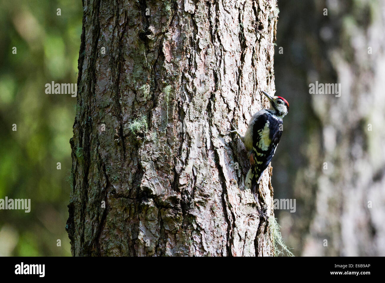 Great spotted woodpecker (Dendrocopos major) Scotland, UK - Stock Image