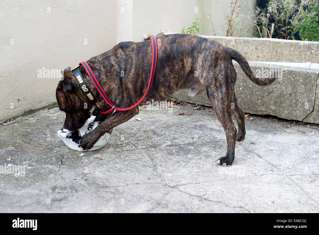 male staffordshire bull terrier dog uses his powerful jaws to destroy a football - Stock Image
