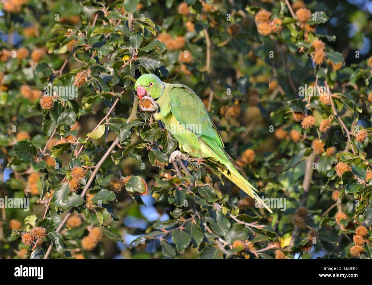 Ring necked (or rose ringed) parakeet feeding on beech tree, London, UK - Stock Image