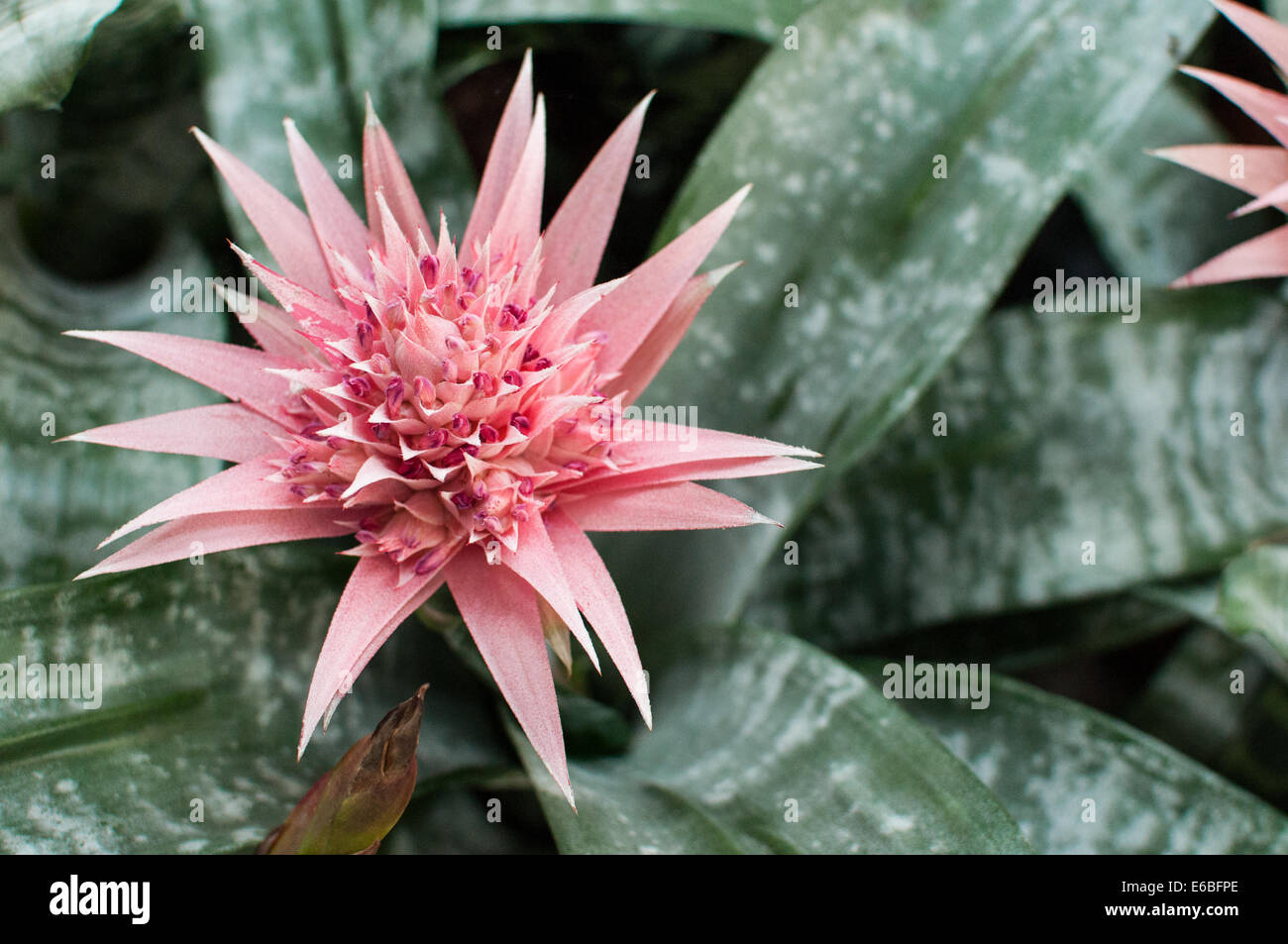 Cactus flower - Stock Image