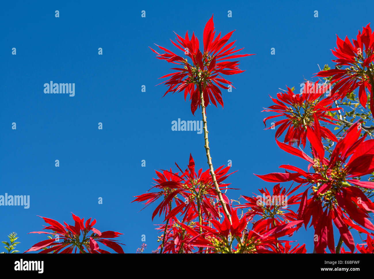Vibrant and colorful Euphorbia pulcherrima plant. - Stock Image