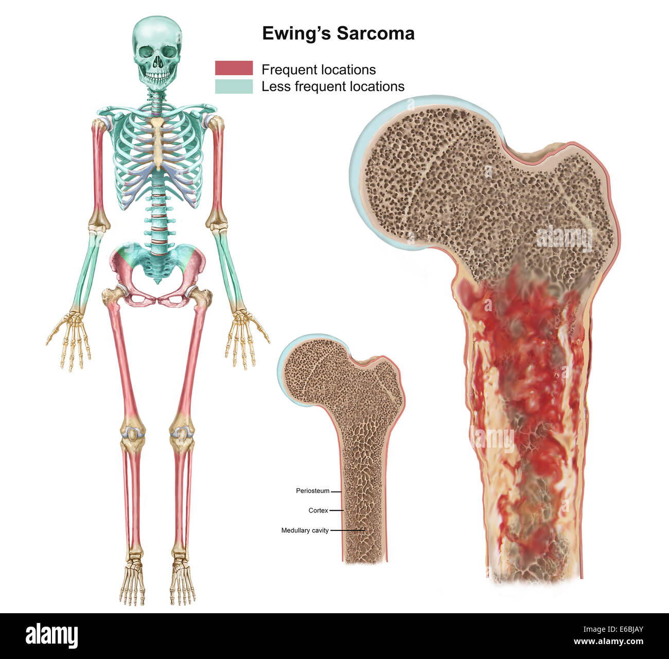 Femur Stock Photos Femur Stock Images Alamy