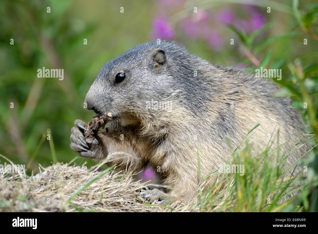Marmot chewing the root of a plant in the Swiss Alps near the village of Saas-Fee Stock Photo