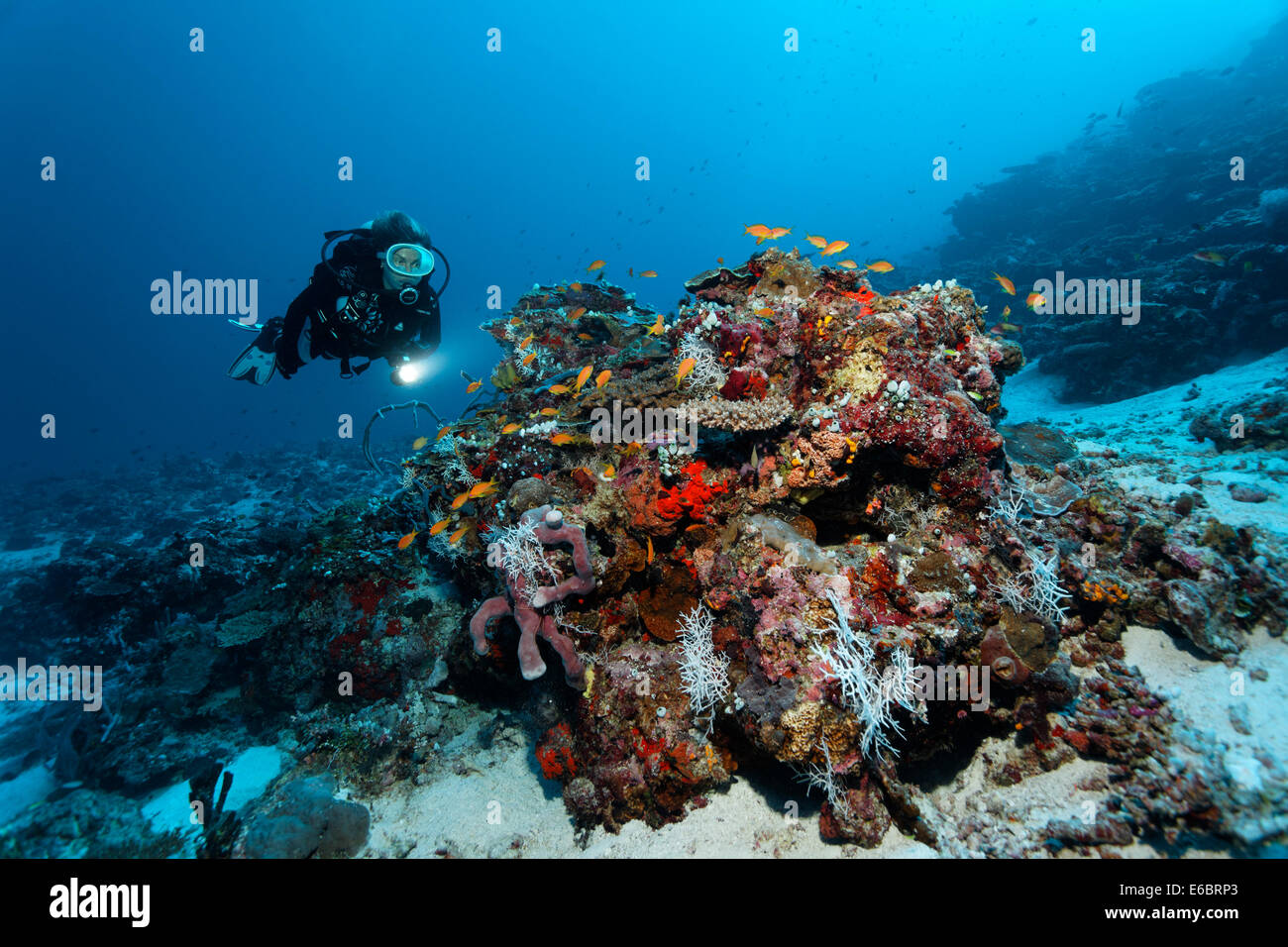 Diver looking at coral block with different corals and sponges, shoal of Anthias (Anthiinae), Indian Ocean, Bolifushi - Stock Image