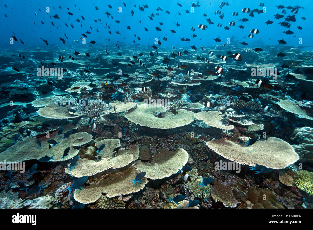 Reef flat with Acropora table coral (Acropora hyacinthus) and numerous, various reef fish, Indian Ocean, Bolifushi Stock Photo