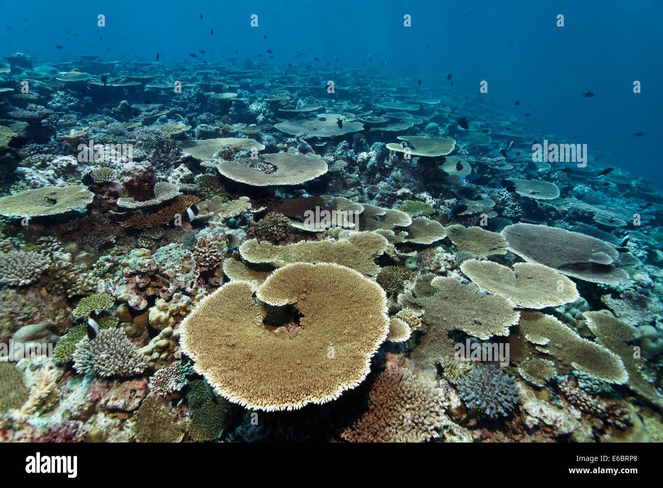 Reef flat with Acropora table coral (Acropora hyacinthus), Indian Ocean, Bolifushi, South Malé Atoll, Maldives - Stock Image