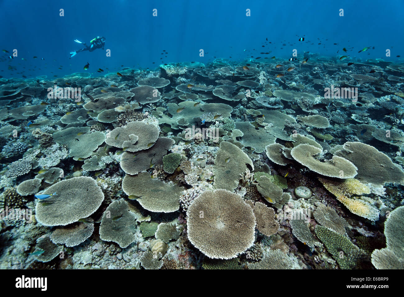 Diver over reef flat with Acropora table coral (Acropora hyacinthus), Indian Ocean, Bolifushi, South Malé Atoll, - Stock Image