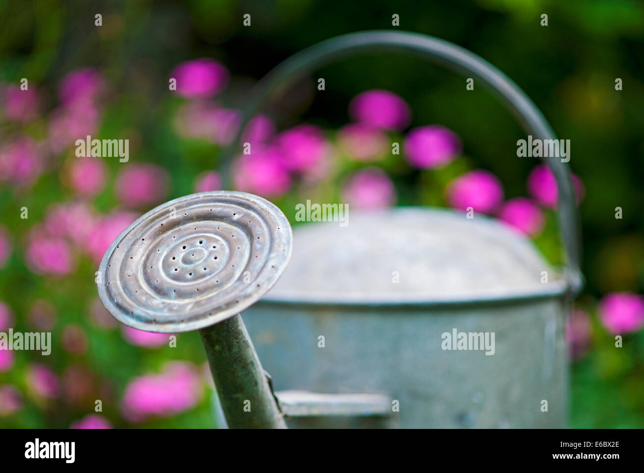 Close up of a watering can rose in a garden - Stock Image
