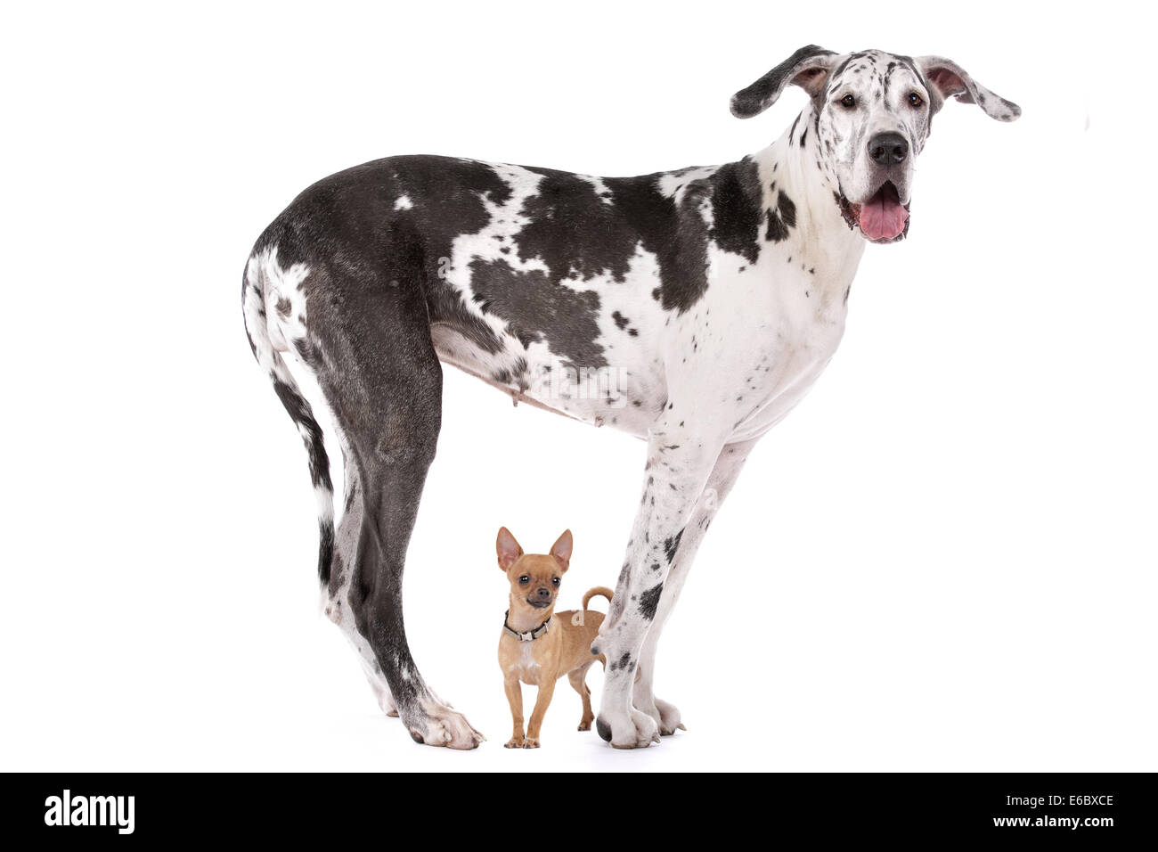 size difference,chihuahua,great dane - Stock Image