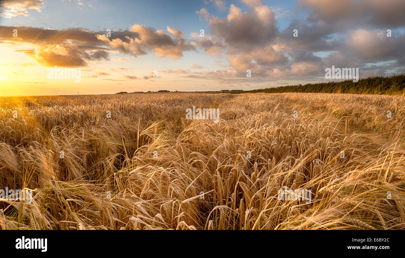 A field of golden ripe barley in the Cornish countryside - Stock Image