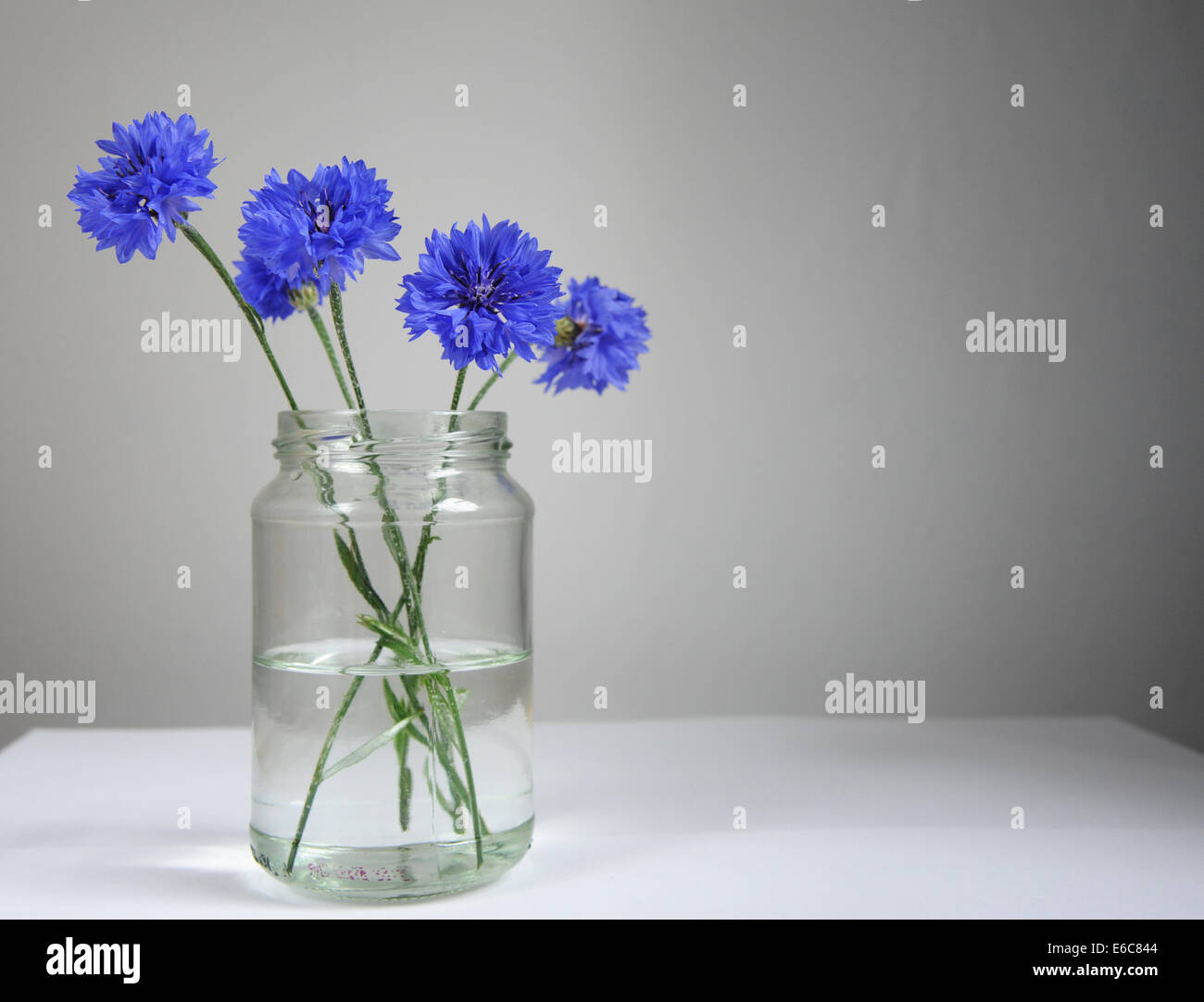 Blue cornflowers in a jar against a grey background. - Stock Image