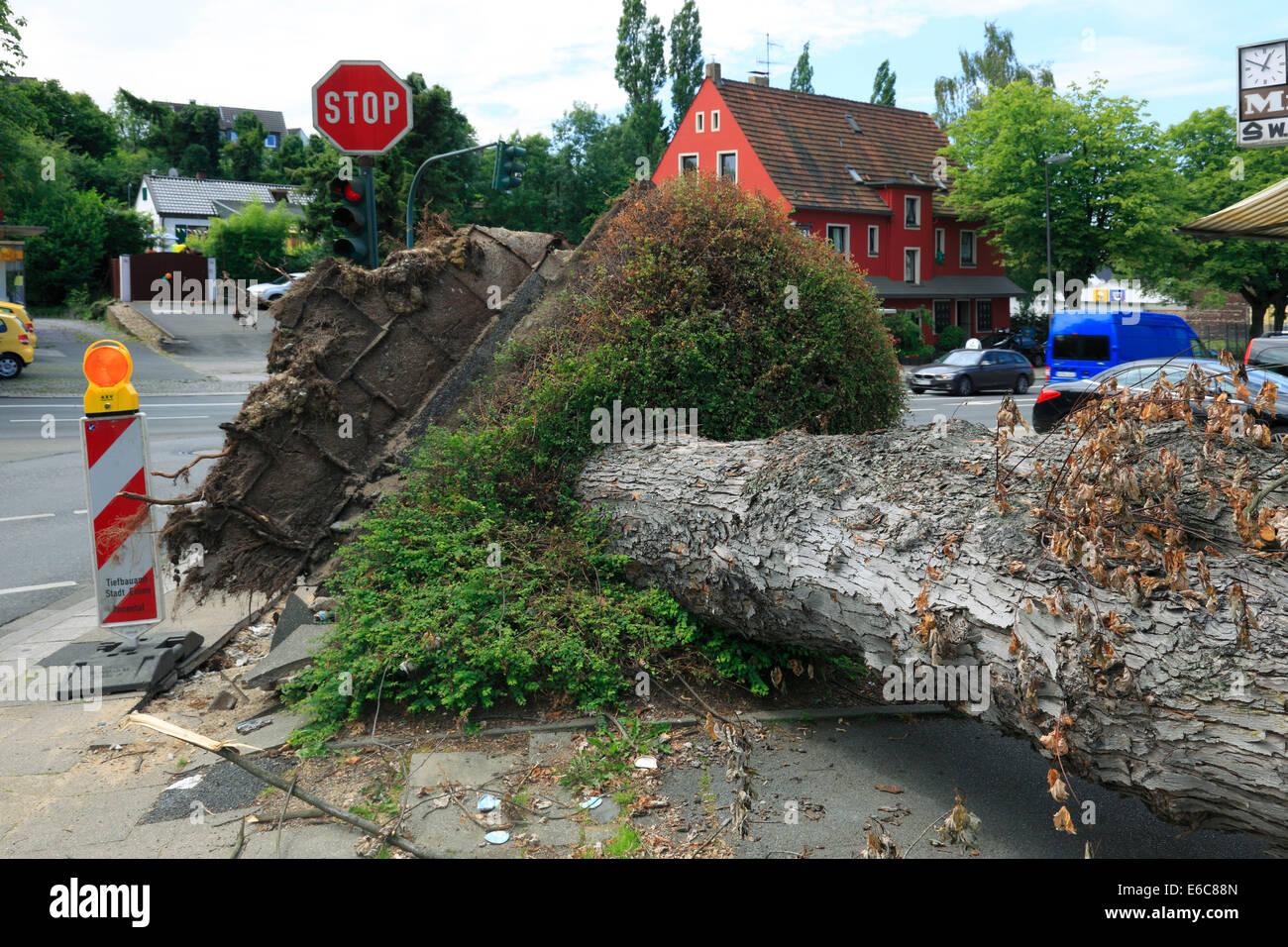 storm damages by depression 'Ela' on June 9, 2014 an June 10, 2014, disrooted tree at corner Velberter Strasse, - Stock Image