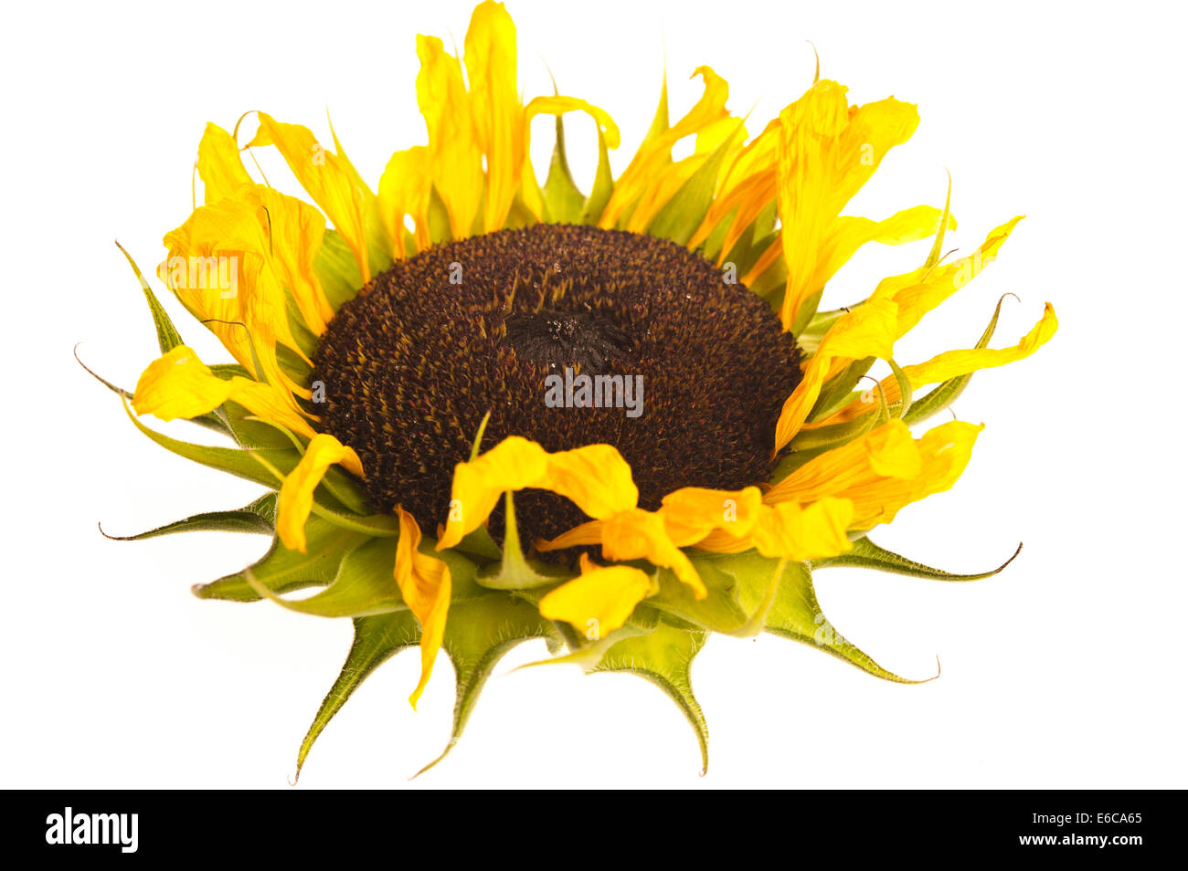 dying sunflower - Stock Image