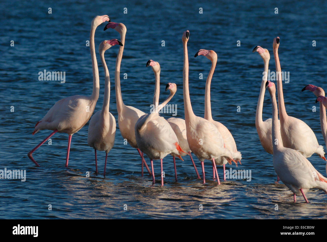 Flock of Greater Flamingoes (Phoenicopterus ruber) during mating season, Berre l'Etang, Provence, France - Stock Image