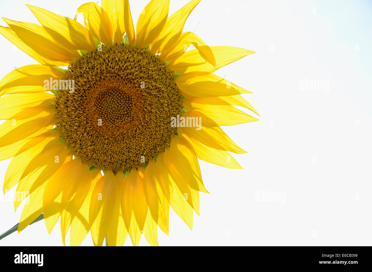 Sunflower close-up view - Stock Image
