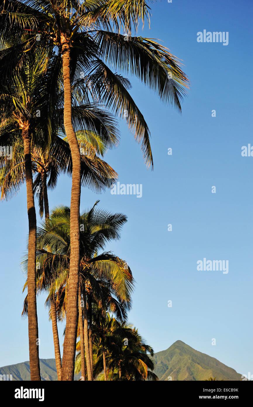 Palm trees in the early morning light, Hawaii, Kahului, Maui Island, Hawaii, USA - Stock Image