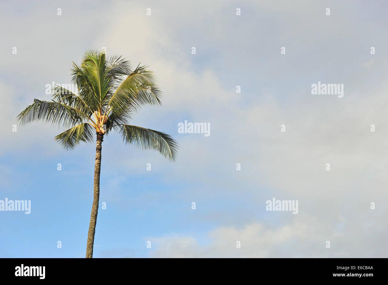 Palm tree treetop - Stock Image