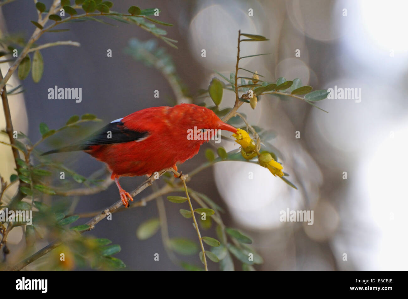An 'I'iwi bird extracting nectar from yellow tree flowers in Maui Island, Hawaii Islands, USA. Stock Photo