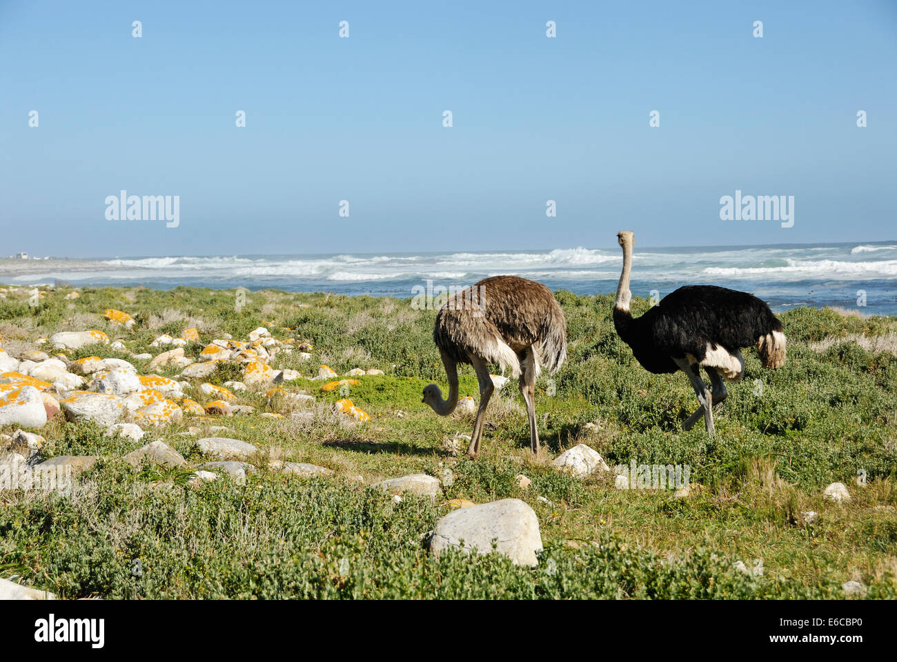 African Ostriches (Struthio camelus) foraging next to beach near Cape of Good Hope, Western Cape Province, South - Stock Image
