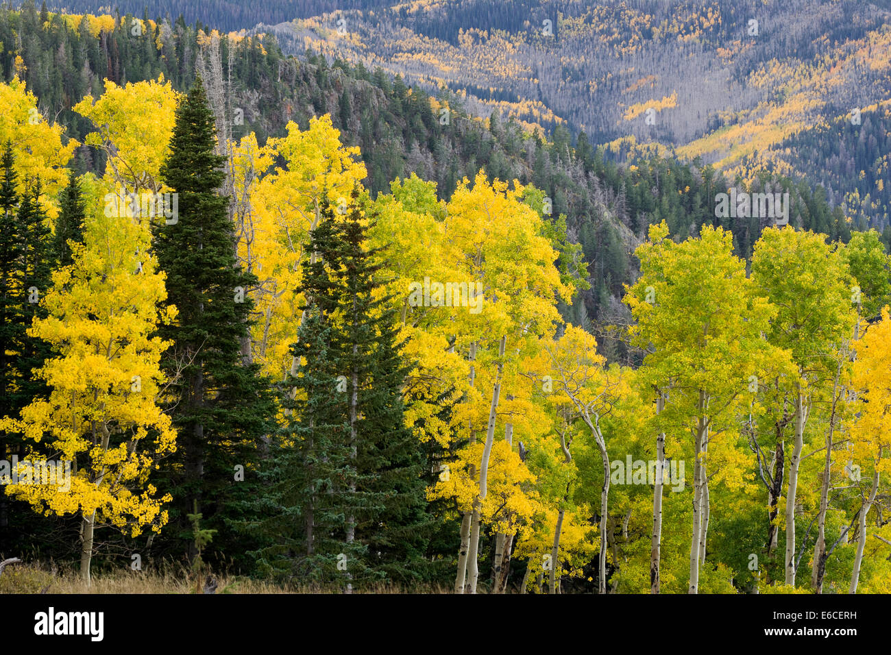 Aspen trees (Populus tremuloides) and conifers in autumn. Sevier Plateau, Fishlake National Forest, Utah, USA. Stock Photo
