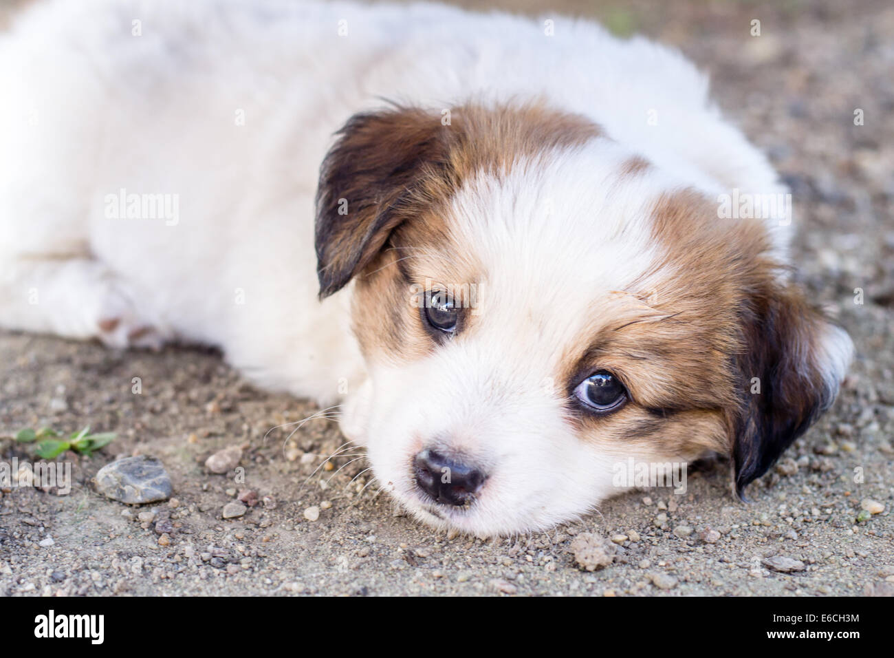 White Adorable Puppy With Brown Colored Ears Stock Photo Alamy