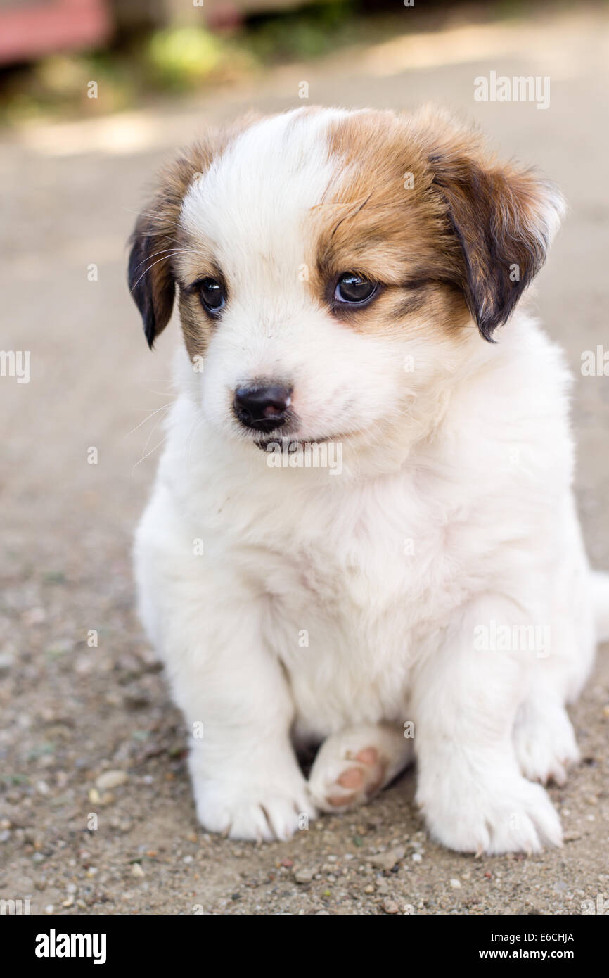 Amazing Puppy Brown Adorable Dog - white-adorable-puppy-with-brown-colored-ears-E6CHJA  Gallery_517745  .jpg