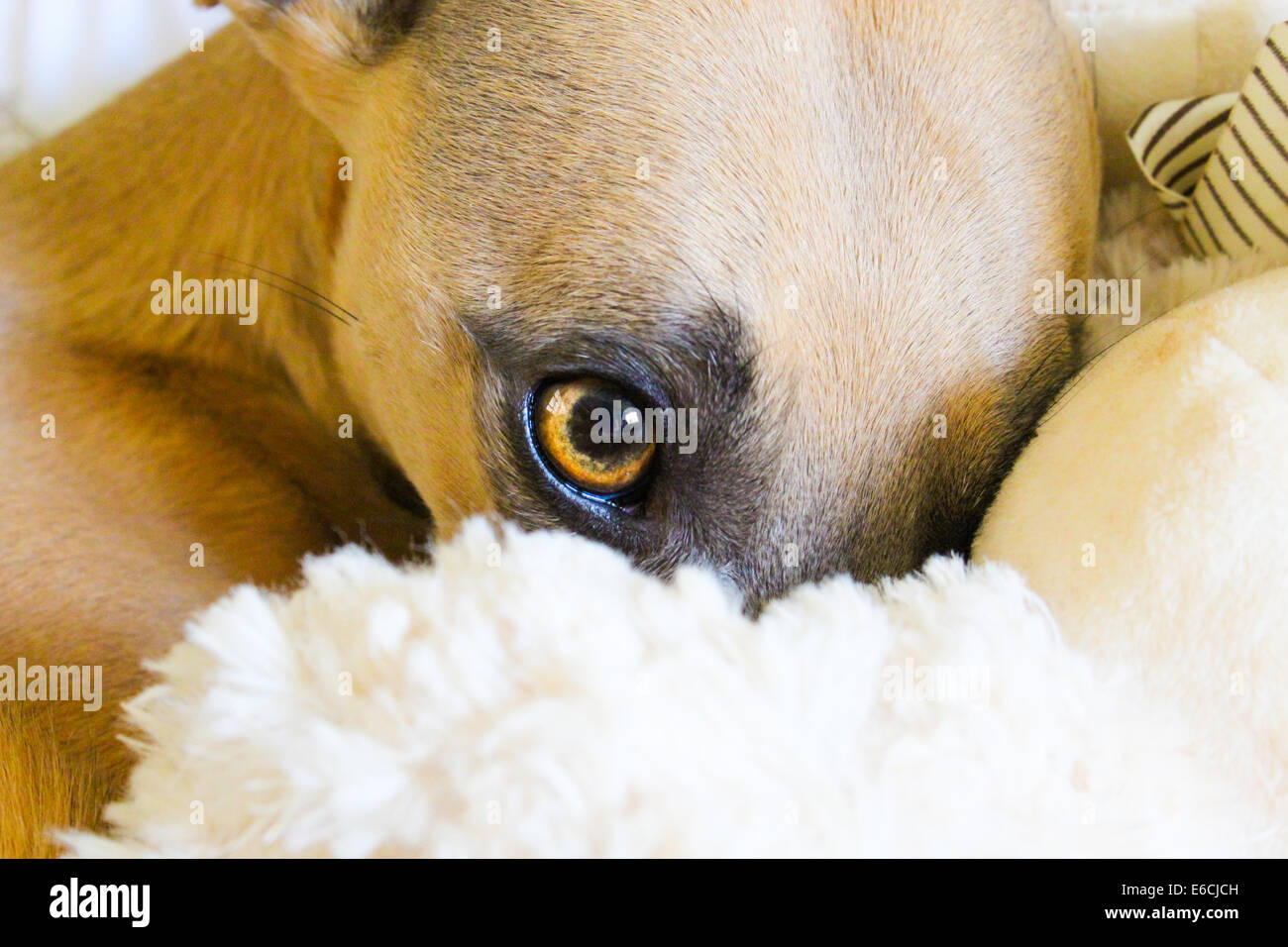 Beautiful detailed close up of a whippets face partly buried beneath comfy blankets - Stock Image