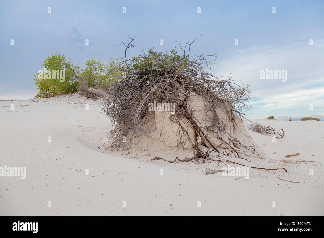 Skunkbush Sumac pedestal formation at White Sands National Monument in New Mexico. - Stock Image