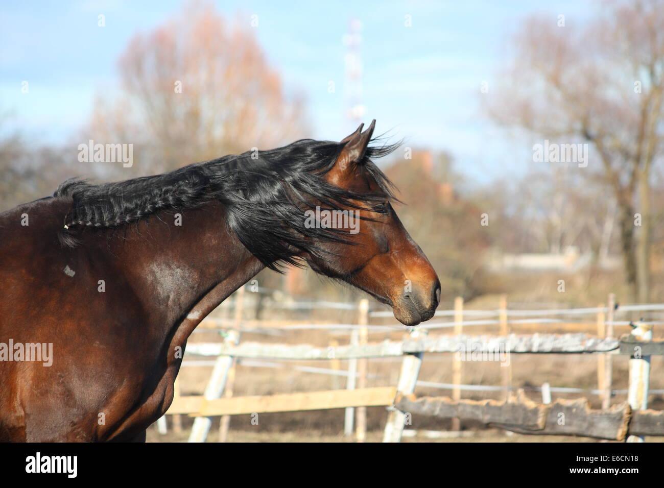 Romantic shot of beautiful bay horse with long mane - Stock Image