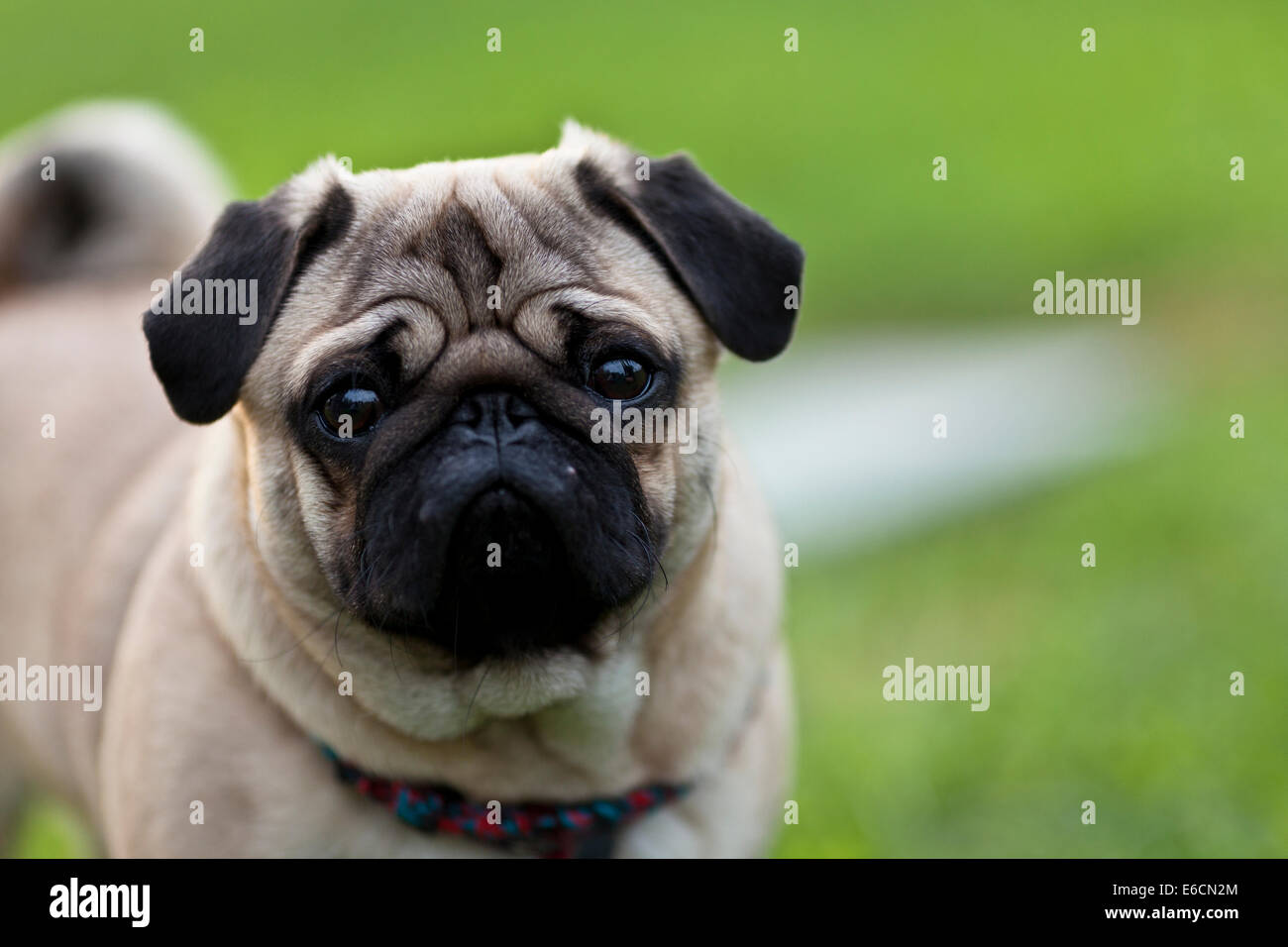 Pug on a field - Stock Image