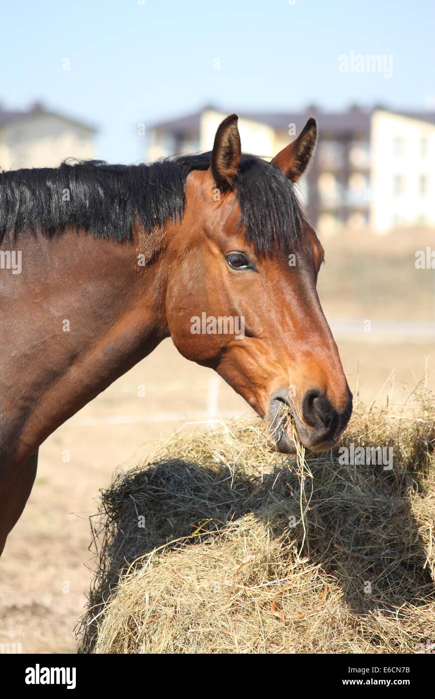 Light bay horse eating dry hay - Stock Image