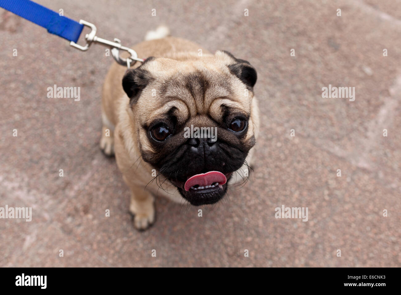 Pug on a blue leash - Stock Image