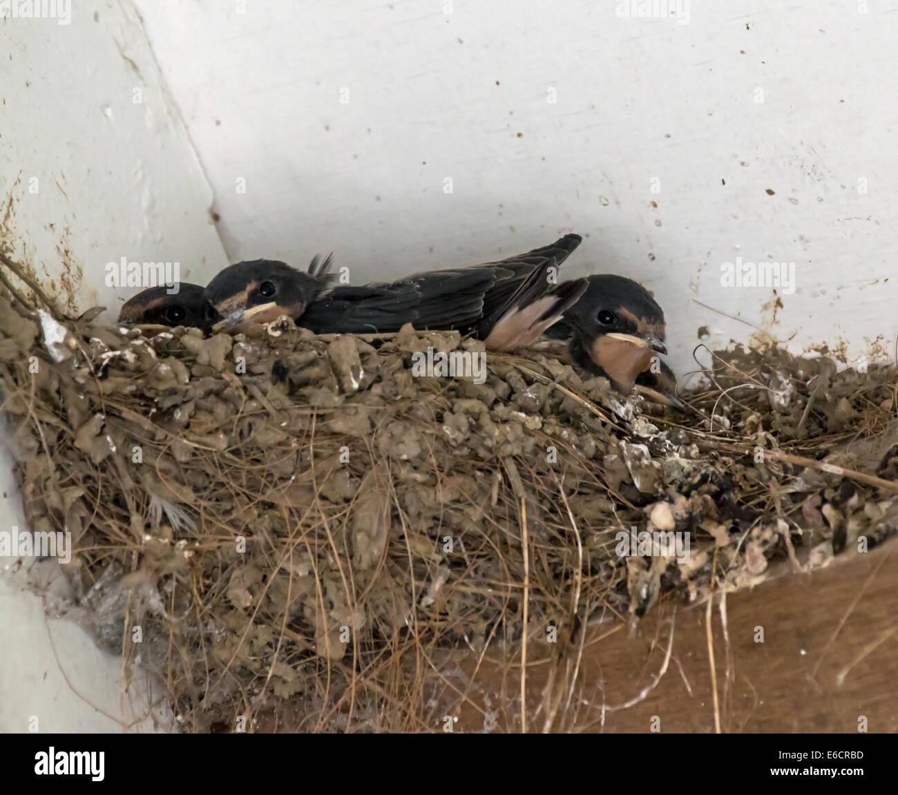 Barn Swallow nest Stock Photo: 72811185 - Alamy