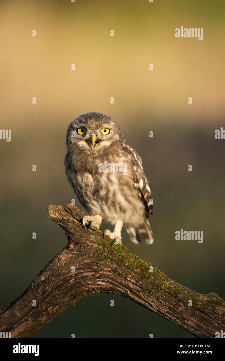 Little owl Athene noctua, juvenile, perched on branch, Tiszaalpár, Hungary in June. - Stock Image