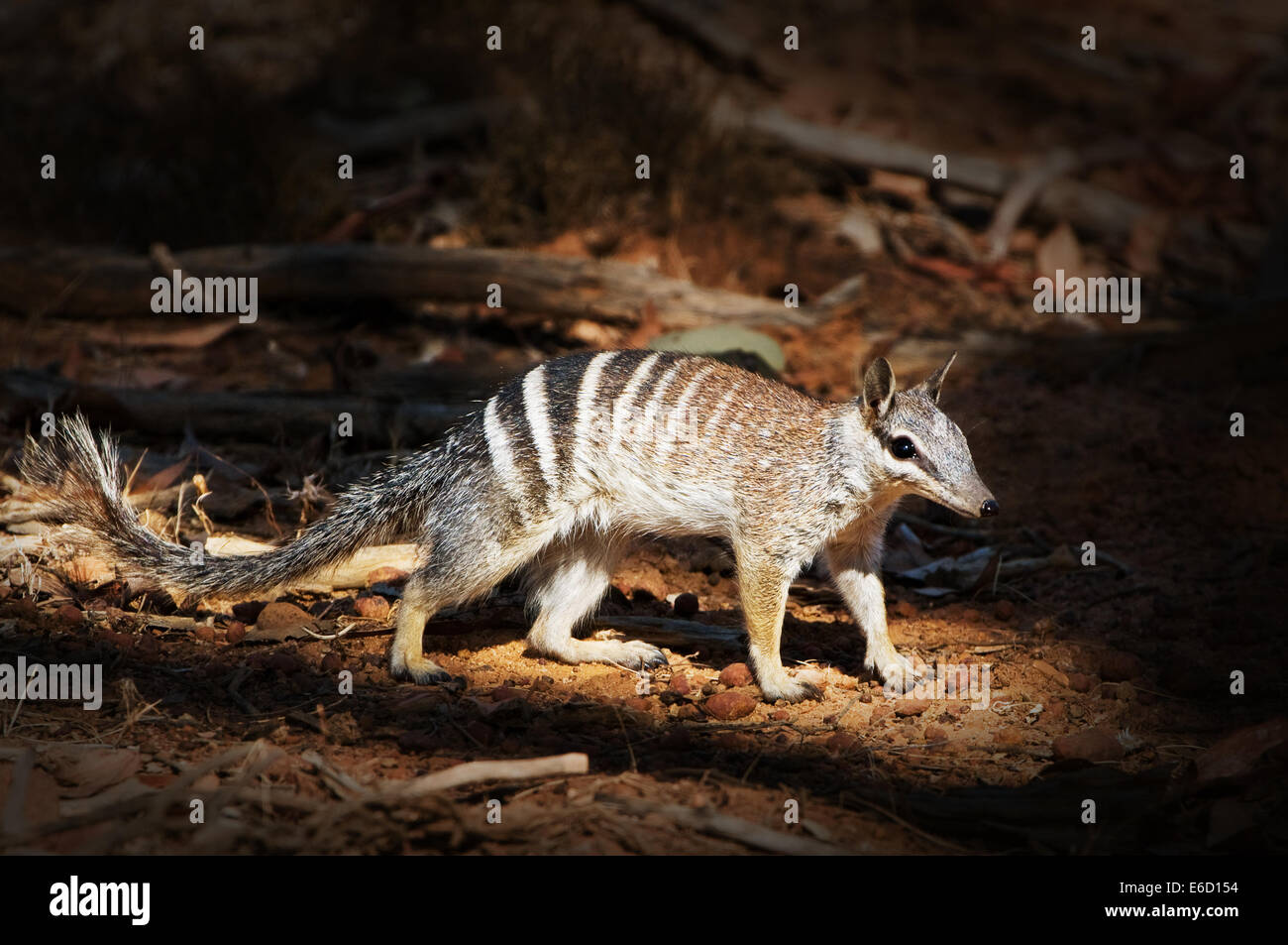 Numbat in a light beam foraging on the ground of the forest. Stock Photo