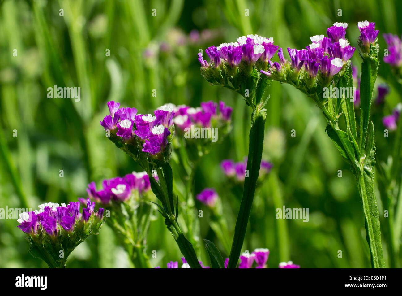 Flowers of the annual Statice, Limonium sinuatum 'Purple Attraction' - Stock Image