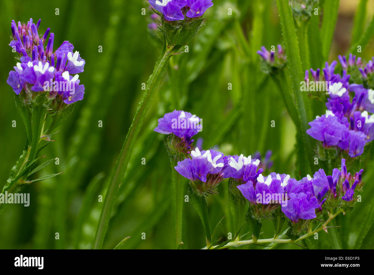 Flowers of the annual Statice, Limonium sinuatum 'Sky Blue' - Stock Image