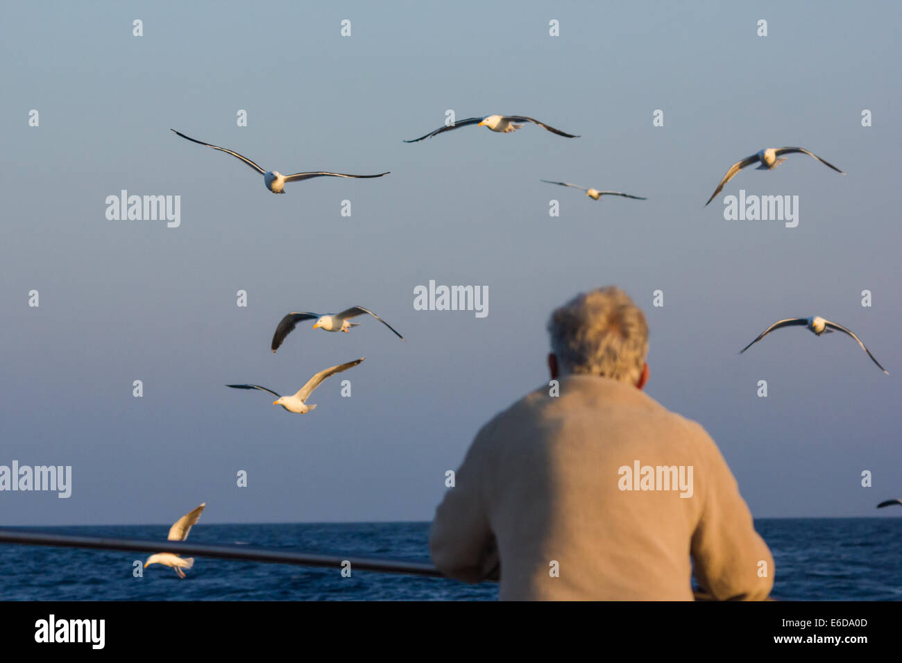A man watches the gulls that follow behind a fishing boat on its return from its trip, Isles of Scilly, June Stock Photo