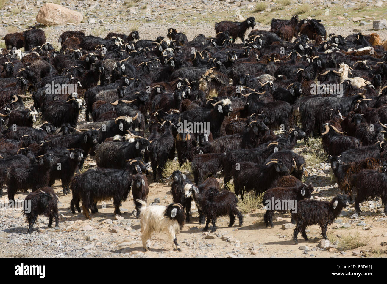 Large herd of goats, Todra Gorge, Morocco - Stock Image