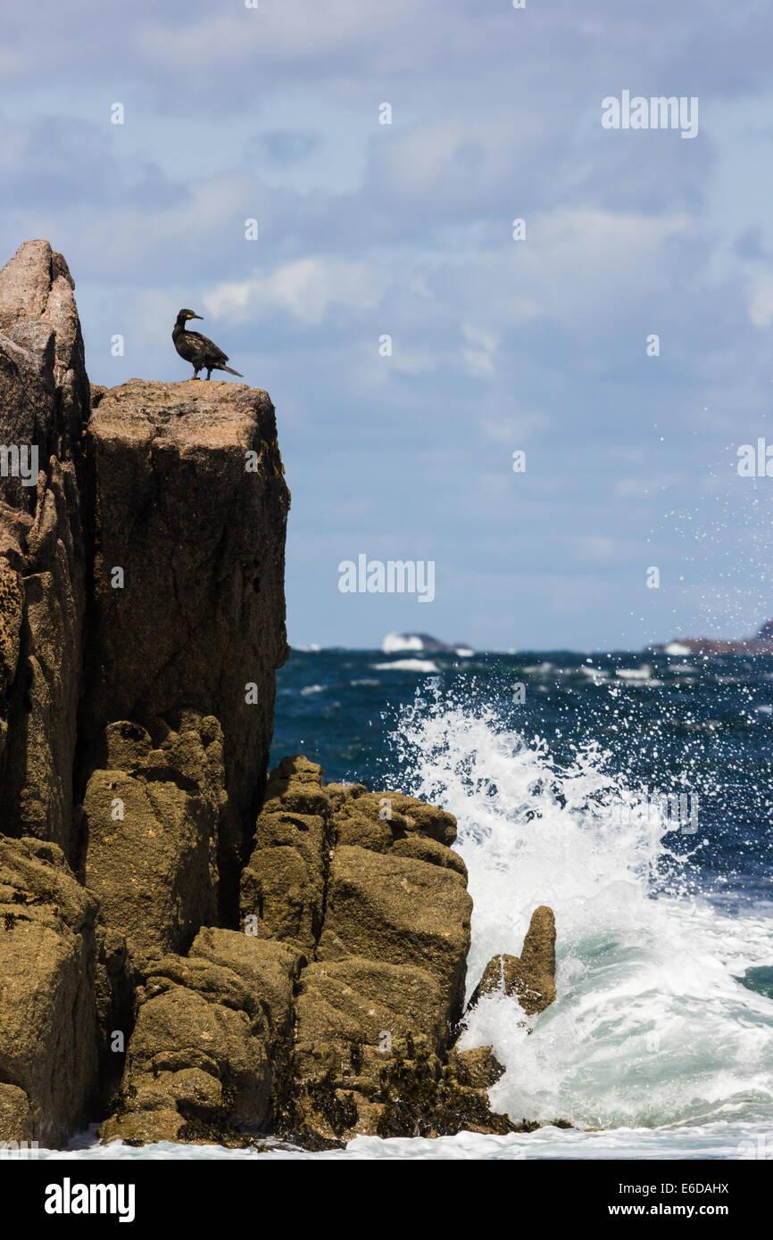 European shag Phalacrocorax aristotelis, the common seabird perches upon a rocky outcropping as the waves crash - Stock Image