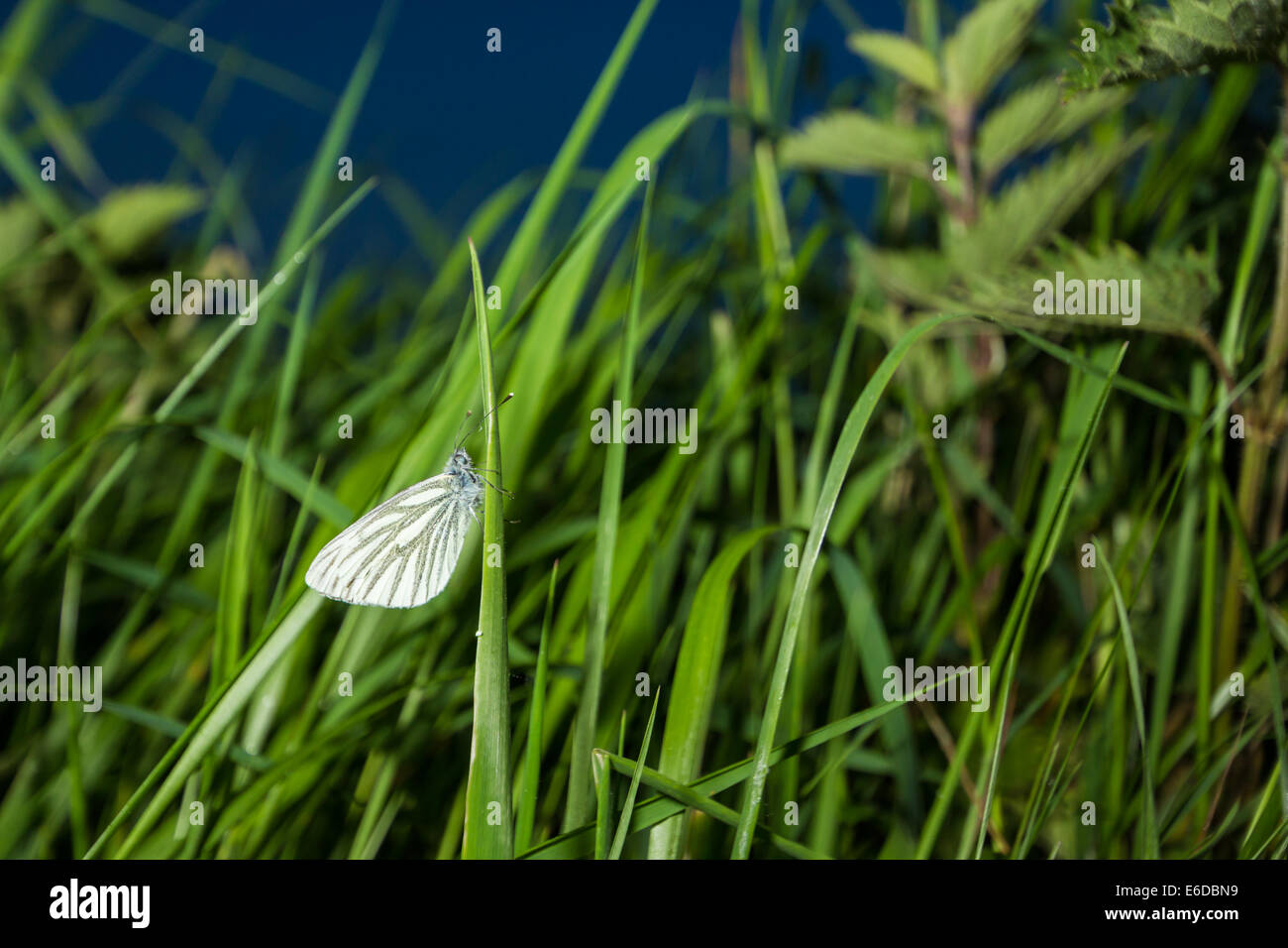 Green-veined white Pieris napi, a common british butterfly, easily recognised by its white wings and thick dark - Stock Image