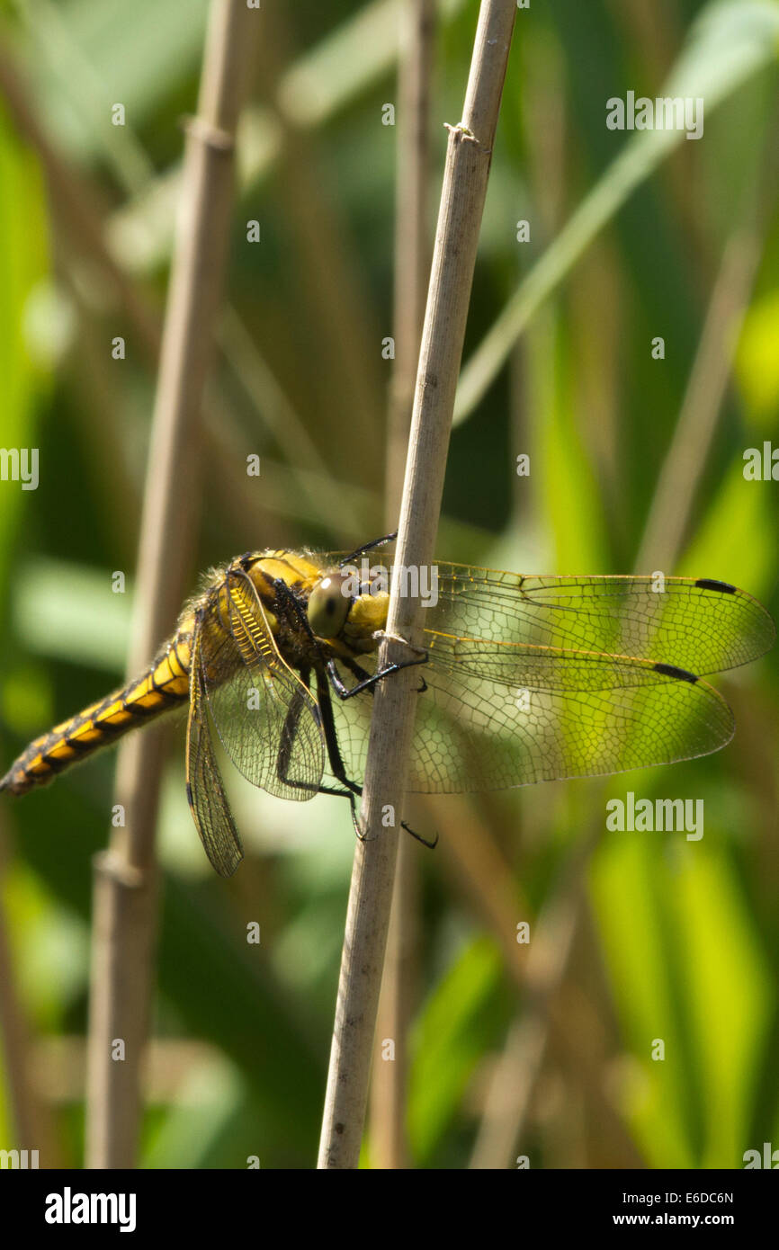 Black-tailed Skimmer clutching a reed stalk at WWT London Wetland Centre - Stock Image